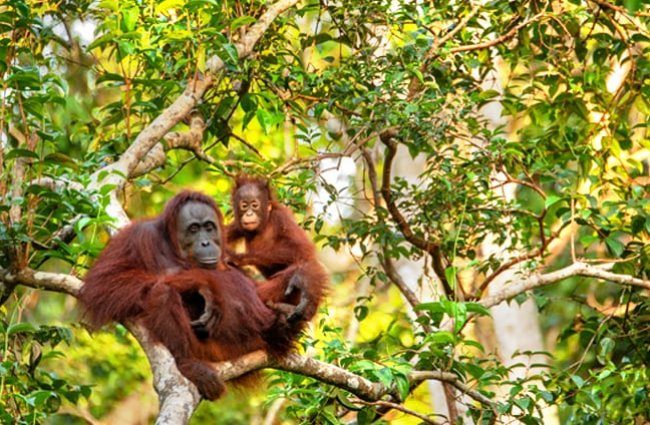 Mother and baby Orangutans in the trees