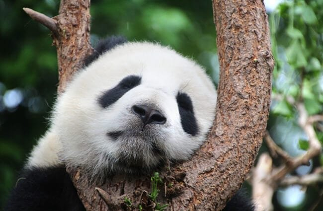 Panda Bear snoozing in a tree