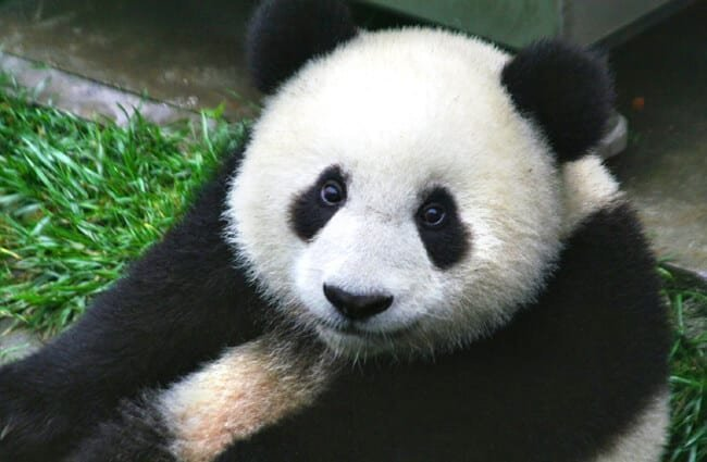 Closeup of a beautiful Panda Bear