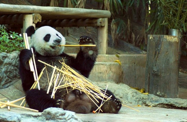 Panda Bear munching on a bamboo snack
