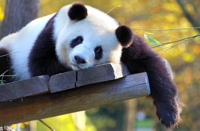 Panda Bear napping in the afternoon sun
