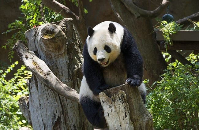Panda Bear in a tree