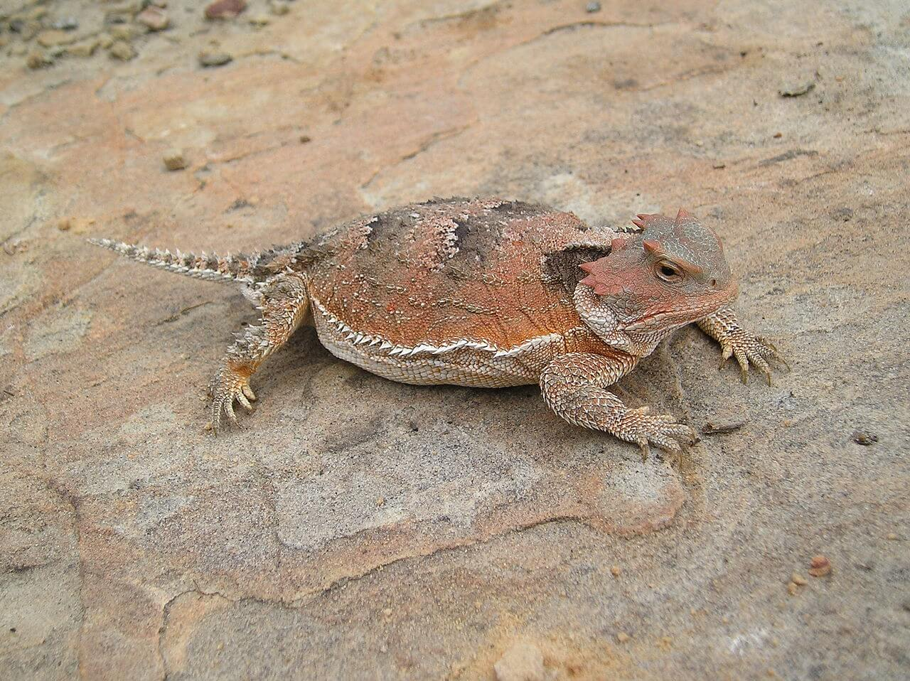 https://en.wikipedia.org/wiki/Greater_short-horned_lizard#/media/File:Pregenant_female_Greater_Short-Horned_Liazard.jpg
