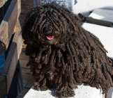 Black Puli Posing At The Dockphoto By: Sandy/chuck Harrishttps://creativecommons.org/licenses/by-Nc-Sa/2.0/