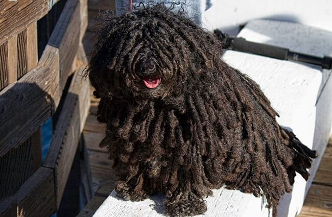 Black Puli posing at the dockPhoto by: Sandy/Chuck Harris//creativecommons.org/licenses/by-nc-sa/2.0/