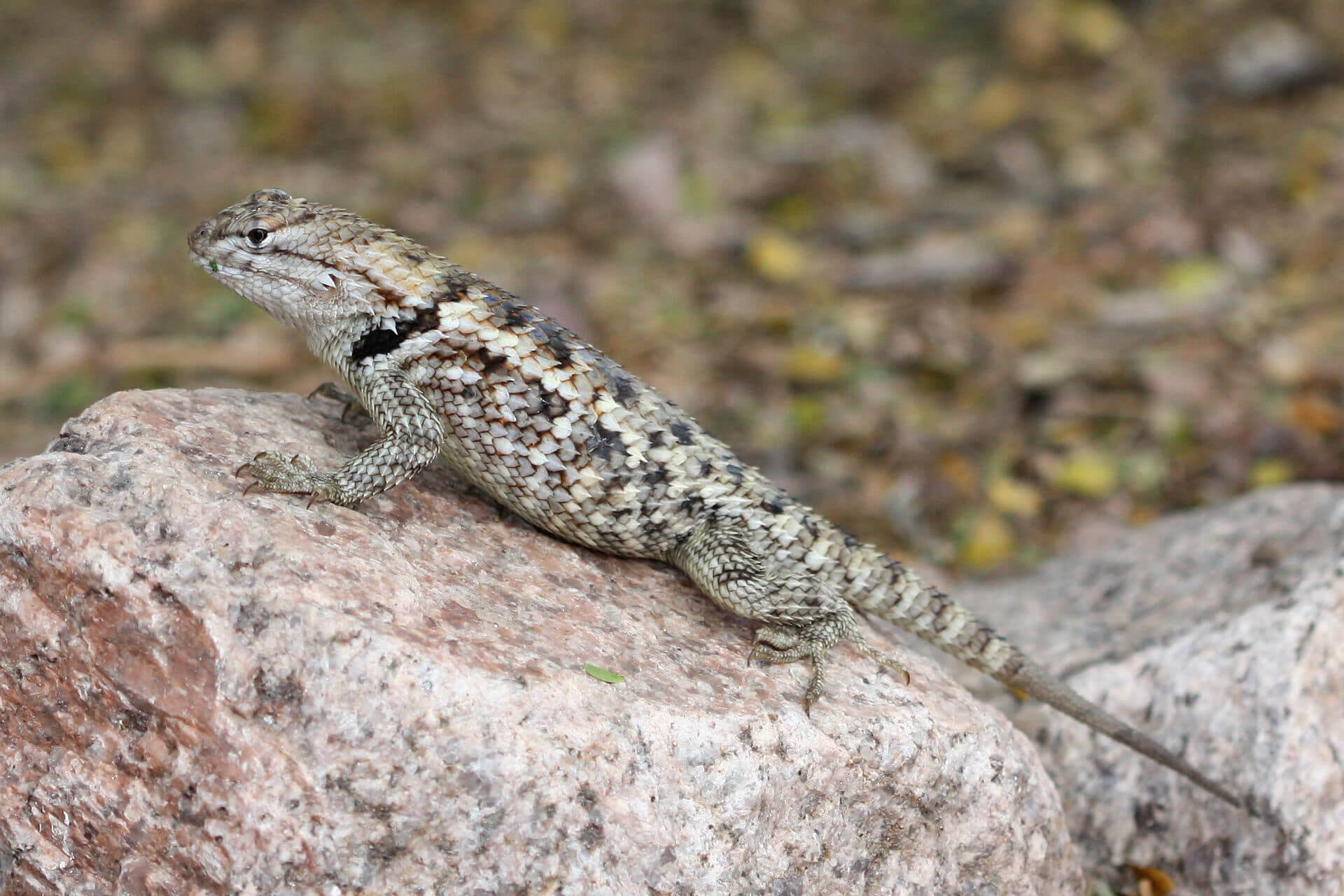 https://en.wikipedia.org/wiki/Sceloporus_magister#/media/File:Sceloporus_magister_Phoenix.jpg