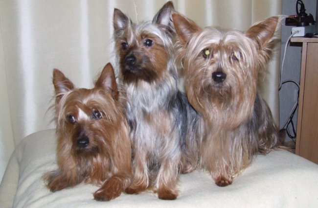 A trio of Silky Terriers posing for a pic Photo by: Australian Silky Terrier Of Silky's Dream https://www.flickr.com/photos/australian-silky-terrier/ https://creativecommons.org/licenses/by-nd/2.0/