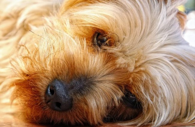 Closeup of a cute little Silky Terrier Photo by: (c) LincolnRogers www.fotosearch.com