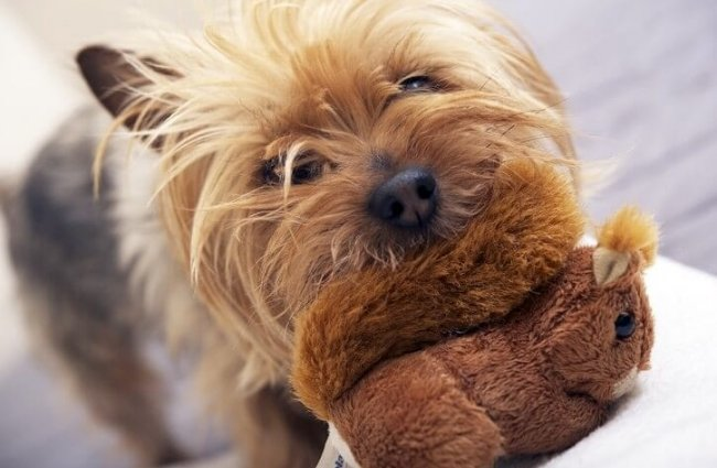 Australian Silky Terrier with his favorite toy Photo by: (c) welcomia www.fotosearch.com