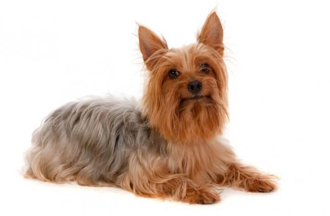 Golden brown Silky Terrier Photo by: (c) EastWestImaging www.fotosearch.com