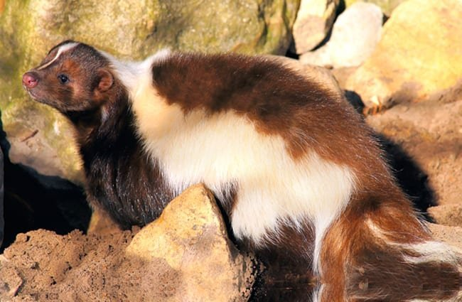 Brown and white skunk basking in the sun