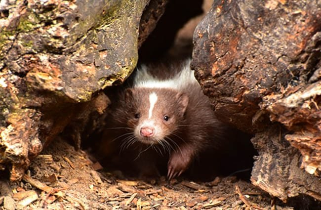 Young skunk emerging from its den