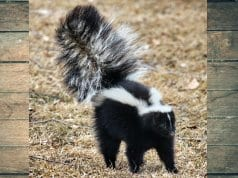 Black and white skunk, lifting its tail in warning