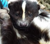 Closeup Of A Young Skunk - Notice Its Leathery Paws