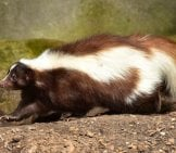 Beautiful Brown And White Skunk
