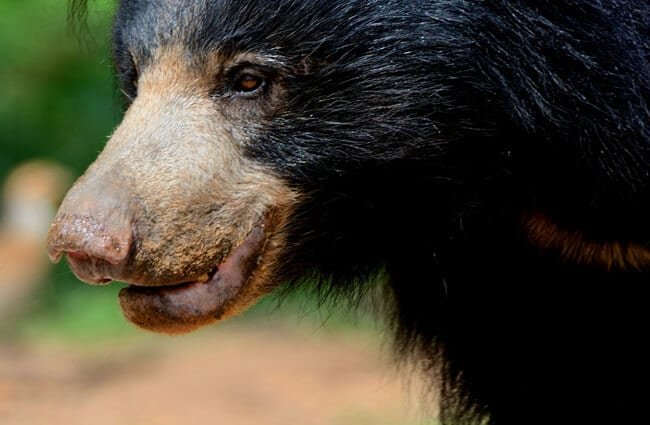 Closeup of a Sloth Bear