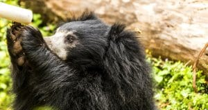 Sloth Bear seeking a drink of waterPhoto by: Hubert Yu//creativecommons.org/licenses/by-nd/2.0/