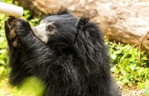 Sloth Bear seeking a drink of waterPhoto by: Hubert Yuhttps://creativecommons.org/licenses/by-nd/2.0/
