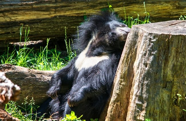 Sloth Bear snoozing in the afternoon sun Photo by: Tim Evanson https://creativecommons.org/licenses/by-nd/2.0/