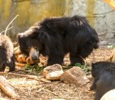 Mother Sloth Bear And Her Two Cubs Photo By: Hubert Yu //creativecommons.org/licenses/by-Nd/2.0/