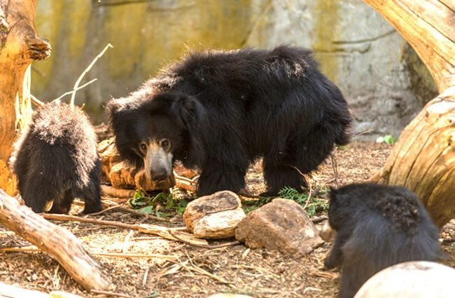 Mother Sloth Bear and her two cubs Photo by: Hubert Yu https://creativecommons.org/licenses/by-nd/2.0/