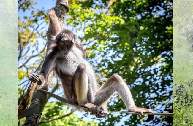 Spider Monkey resting on a rope in the zoo