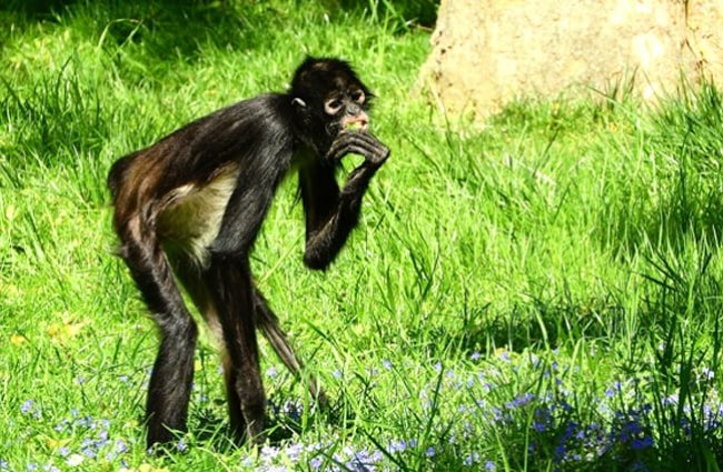 Lanky legs of a Spider Monkey