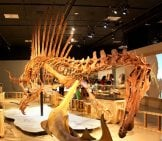 Spinosaurus Skeleton On Display In A Museum Hoto By: Mike Bowler From Canada Cc By 2.0 Https://creativecommons.org/licenses/by/2.0