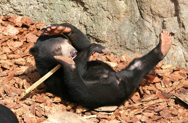 Young Sun Bear wrestling a stick Photo by: Kabacchi //creativecommons.org/licenses/by/2.0/