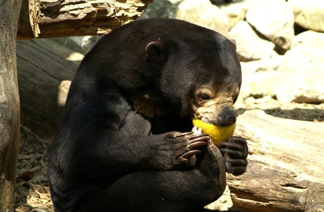 Sun Bear eating a grapefruit