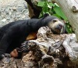 Sun Bear Napping On A Log