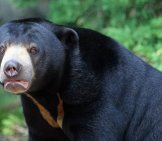 Portrait Of A Sun Bear Photo By: David Lochlin //creativecommons.org/licenses/by/2.0/