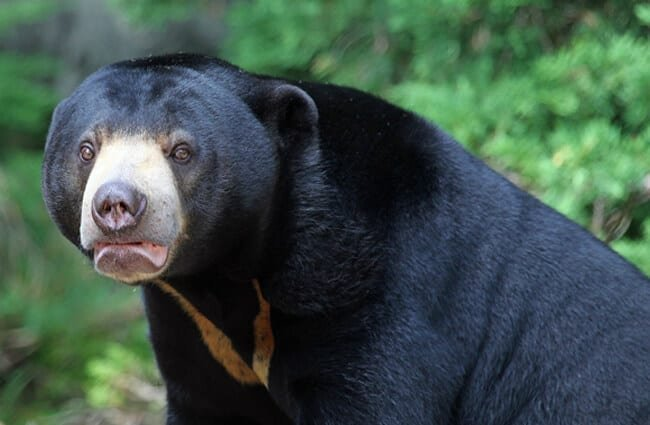 Portrait of a Sun Bear Photo by: David Lochlin https://creativecommons.org/licenses/by/2.0/
