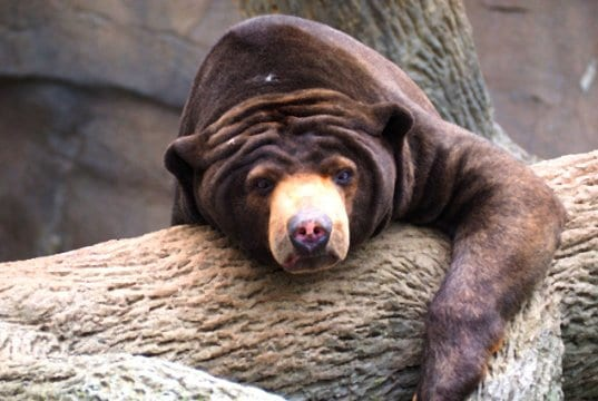 Sun Bear snoozing ... in the sun