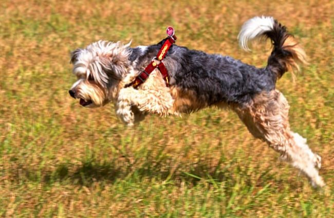 Tibetan Terrier pouncing on playful prey Photo by: Acid Pix https://creativecommons.org/licenses/by/2.0/