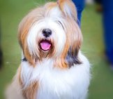 Stunning Tibetan Terrier Ready For The Show Ring Photo By: Counse Https://creativecommons.org/licenses/by/2.0/