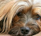 Closeup Of A Tibetan Terrier's Face