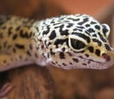 Dark-Spotted Tokay Gecko Pd