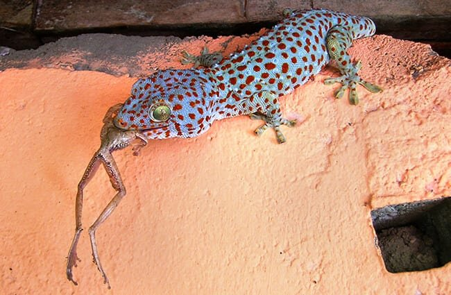 Blue-spotted Tokay Gecko having lunch Photo by: Drriss & Marrionn //creativecommons.org/licenses/by-nc-sa/2.0/