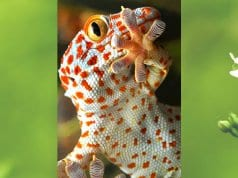 Beautiful Yellow-spotted Tokay GeckoPhoto by: Alessandro Zambotihttps://creativecommons.org/licenses/by-nc-sa/2.0/