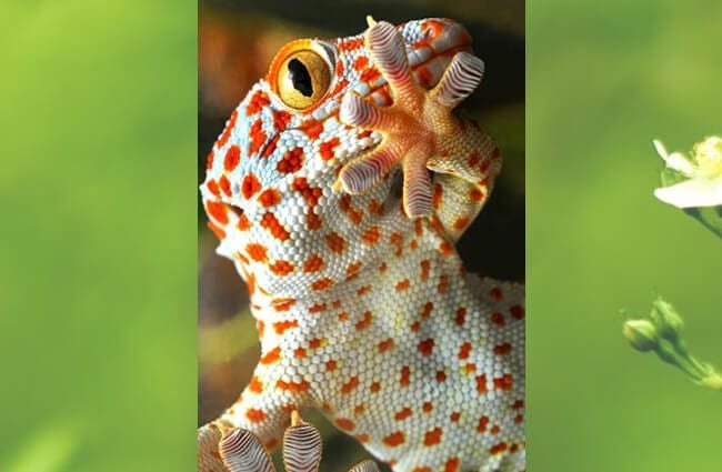 Beautiful Yellow-spotted Tokay GeckoPhoto by: Alessandro Zamboti//creativecommons.org/licenses/by-nc-sa/2.0/