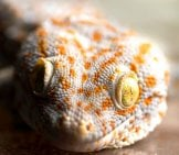 Closeup Of A Yellow-Spotted Tokay Gecko Photo By: Mats Remman //creativecommons.org/licenses/by-Nc-Sa/2.0/