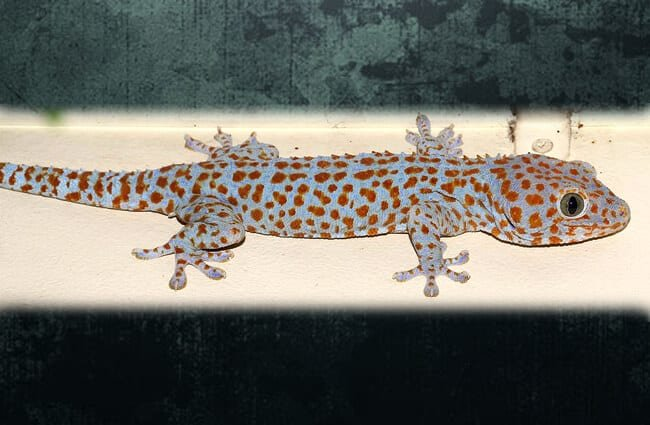 Tokay Gecko in the basement Photo by: Martin Grimm //creativecommons.org/licenses/by-nc-sa/2.0/