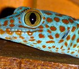 Closeup Of A Blue Tokay Gecko Photo By: Jonas Hansel //creativecommons.org/licenses/by-Nc-Sa/2.0/