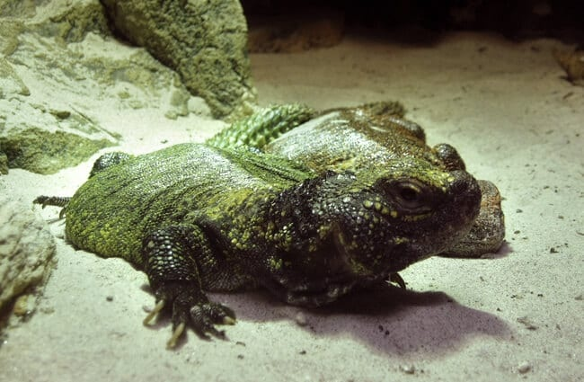 Uromastyx in an aquarium Photo by: Udo Schröter https://creativecommons.org/licenses/by-sa/2.0/