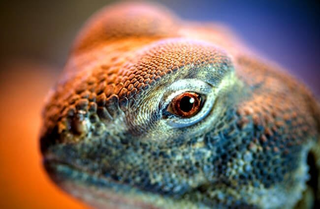Ultra closeup of a Uromastyx eye Photo by: Nicholas Doumani https://creativecommons.org/licenses/by-sa/2.0/