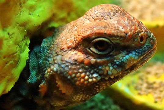 Portrait of a beautiful Uromastyx Photo by: R.A. Killmerhttps://creativecommons.org/licenses/by-sa/2.0/