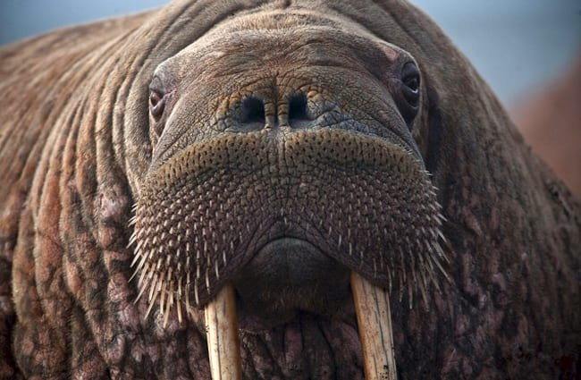 Cluseup of a Walrus face