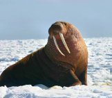 Large Walrus In The Arctic Snows