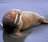Walrus On The Beach